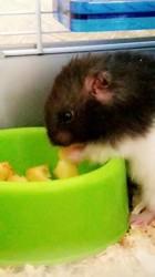 Nimu, rongeur Hamster