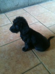 Nina, chien Basset fauve de Bretagne