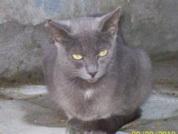 Nina, chat Bleu russe