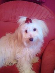 Nina, chien Bichon havanais