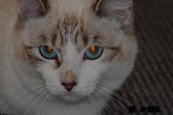 Nina, chat Siamois
