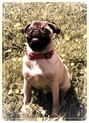 Nina, chien Carlin