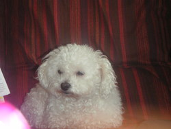 Nina, chien Caniche