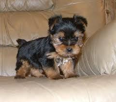 Nina, chien Yorkshire Terrier