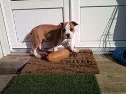 Nina, chien American Staffordshire Terrier