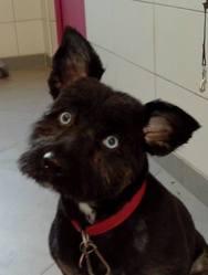 Nina, chien Berger des Pyrénées
