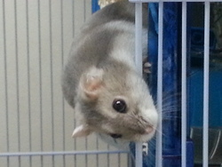 Nina, rongeur Hamster