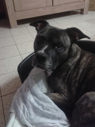 Nina, chien American Staffordshire Terrier