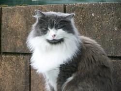 Nina, chat Norvégien