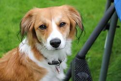 Nina, chien Petit chien hollandais de chasse au gibier d'eau