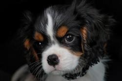 Nina, chien Cavalier King Charles Spaniel