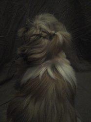 Nina, chien Shih Tzu