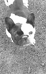 Nina, chien Bouledogue français