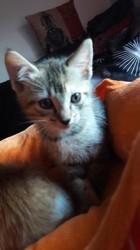 Nina, chaton Européen