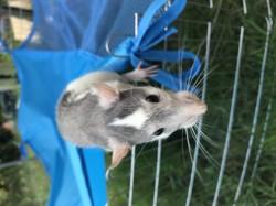 Nina, rongeur Rat