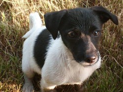 Nina, chien Jack Russell Terrier