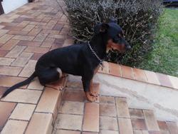 Nina, chien Pinscher