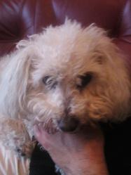 Nina, chien Bichon à poil frisé
