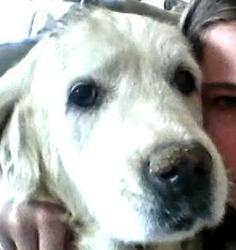 Nina, chien Golden Retriever