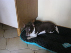 Nine, chien Jack Russell Terrier
