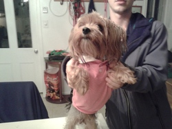 Ninette, chien Yorkshire Terrier