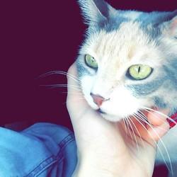 Ninette , chat Angora turc