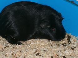 Nini, rongeur Cochon d'Inde
