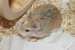 Ninja, rongeur Hamster