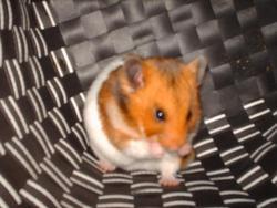 Ninjey, rongeur Hamster
