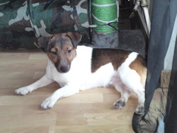 Nino, chien Jack Russell Terrier