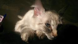 Nino, chat Angora turc