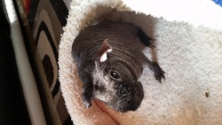 Nino, rongeur Cochon d'Inde
