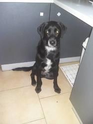Nino, chien Labrador Retriever