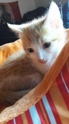 Nino, chaton Européen