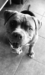 Nino, chien American Staffordshire Terrier