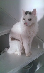 Ninou, chat Angora turc