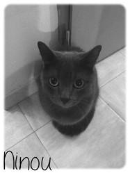 Ninou, chat Bleu russe