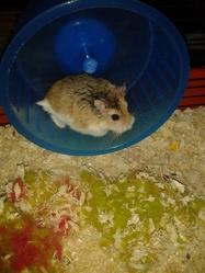Ninou, rongeur Hamster