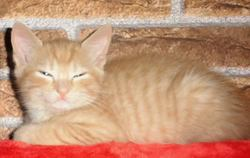 Ninou, chat Européen