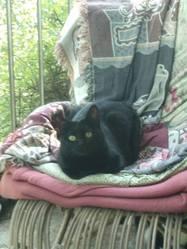Ninouche, chat Européen
