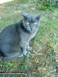Ninouche, chat Chartreux