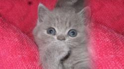Niobe, chaton British Shorthair