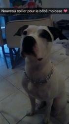 Niska, chien Dogue argentin