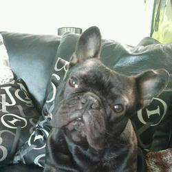 Nismo, chien Bulldog