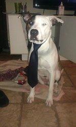 Nitro, chien American Staffordshire Terrier