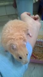 Nixie, rongeur Hamster