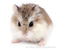 Njut, rongeur Hamster
