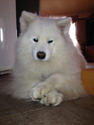 Noa, chien Samoyède