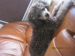 Noah, chien Caniche