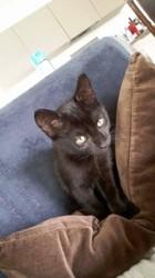 Nobilis, chaton Gouttière